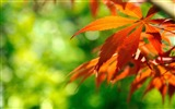 Title:orange fall leaves-autumn of natural scenery Wallpaper Views:9797