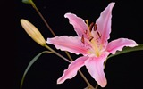 Title:pink lily-2012 flowers Featured Wallpaper Views:7162