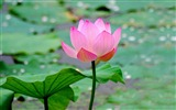 Title:pink lotus-2012 flowers Featured Wallpaper Views:6011