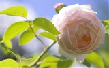 Title:pink rose-2012 flowers Featured Wallpaper Views:3703