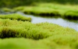 Title:polytrichum moss-2012 Natural plant Featured wallpaper Views:4882