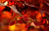 Title:red autumn leaves close up-autumn of natural scenery Wallpaper Views:6834