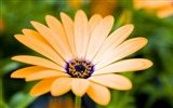 Title:yellow daisy-2012 flowers Featured Wallpaper Views:2658