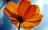 Title:Orange flowers macro-Ubuntu 10-04 LTS official beautiful Desktop Wallpapers Views:2969
