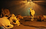Title:Cows India-National Geographic Best Wallpapers of 2012 Views:6784