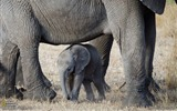Title:Elephants Serengeti-National Geographic Best Wallpapers of 2012 Views:3330