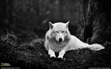 Title:Gray Wolf Washington-National Geographic Best Wallpapers of 2012 Views:14926