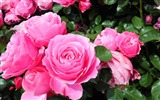 Title:roses are pink-Beautiful flowers HD wallpaper Views:6251