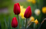 Title:three red tulips-Beautiful flowers HD wallpaper Views:5918