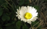 Title:Beauty White Daisies-Flowers HD widescreen wallpaper Views:3976