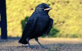Title:Black Crow-Animal world photography wallpaper Views:2936