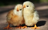 Title:Chickens-Natural animal photography Wallpaper Views:2434