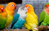 Title:Colorful Parrots-Animal world photography wallpaper Views:4311