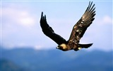 Title:Flying Eagle-Natural animal photography Wallpaper Views:84172