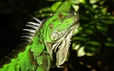 Title:Green Iguana-Natural animal photography Wallpaper Views:5386