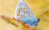 Title:Morpho Polyphemus Butterfly-Natural animal photography Wallpaper Views:4360