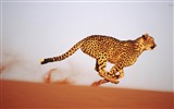 Title:Running Cheetah-Natural animal photography Wallpaper Views:5195