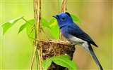 Title:Single Blue Bird-Natural animal photography Wallpaper Views:2912