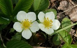 Title:White Flowers-Flowers HD widescreen wallpaper Views:3436