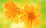 Title:african daisy-Flowers HD widescreen wallpaper Views:3899