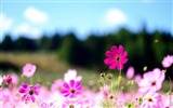 Title:pink cosmos flowers-Flowers HD widescreen wallpaper Views:3405