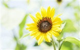 Title:sunflower-Flowers HD widescreen wallpaper Views:3953