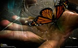 Title:Monarch Butterfly-National Geographic wallpaper Views:3277