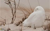 Title:Snowy Owl Long Island-National Geographic wallpaper Views:3532