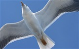 Title:bird seagull flap wings-Animal HD wallpaper Views:4475