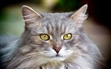 Title:cat face furry gray-Animal HD wallpaper Views:3406