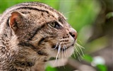 Title:fisher cat face profile spotted-Animal HD wallpaper Views:3384