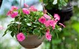 обои для рабочего стола 2600x1705 цветы, бальзамины, розовый, капли, горшок.
