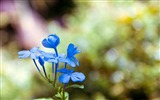 Title:Blue wildflowers Macro-flower photography wallpaper Views:2722
