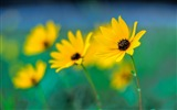 Title:Hazy yellow flowers-flower photography wallpaper Views:3154