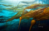 Title:Marine plants-2013 Bing theme widescreen wallpaper Views:5384