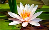 Title:White Lotus-flower photography wallpaper Views:3277