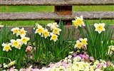 Title:daffodils primroses flowers fence-Beautiful flowers HD wallpaper Views:5026