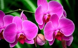 Title:orchid flower branch exotic-Beautiful flowers HD wallpaper Views:9253