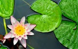 Title:water lily leaves-Beautiful flowers HD wallpaper Views:3959