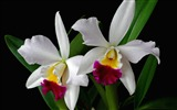 Title:white orchid flower branch exotic-Beautiful flowers HD wallpaper Views:4267