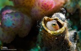 Title:Blenny Red Sea-National Geographic wallpaper Views:3011