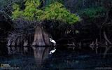 Title:Great Egret Florida-National Geographic wallpaper Views:3402