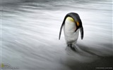Title:Penguin South Georgia Island-National Geographic wallpaper Views:2788
