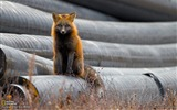Title:Red Fox Canada-National Geographic wallpaper Views:3349