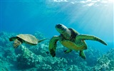 Title:One pair of sea turtles-Hawaiian Islands landscape HD Wallpaper Views:4286