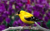 Title:Yellow bird branch blurring-Animal photo desktop wallpaper Views:3811