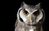 Title:bird owl nature-Bird Photography HD wallpaper Views:4103