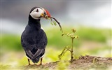 Title:bird puffin deadlock grass-Bird Photography HD wallpaper Views:2878