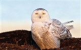 Title:bird snowy owl eyes light-Bird Photography HD wallpaper Views:2850