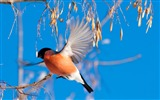 Title:bullfinch branch winter-Animal photo desktop wallpaper Views:5060